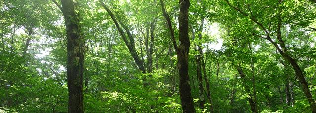 木 / ブナの原生林
