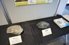 「地質の日」関連展示を実施中です。
