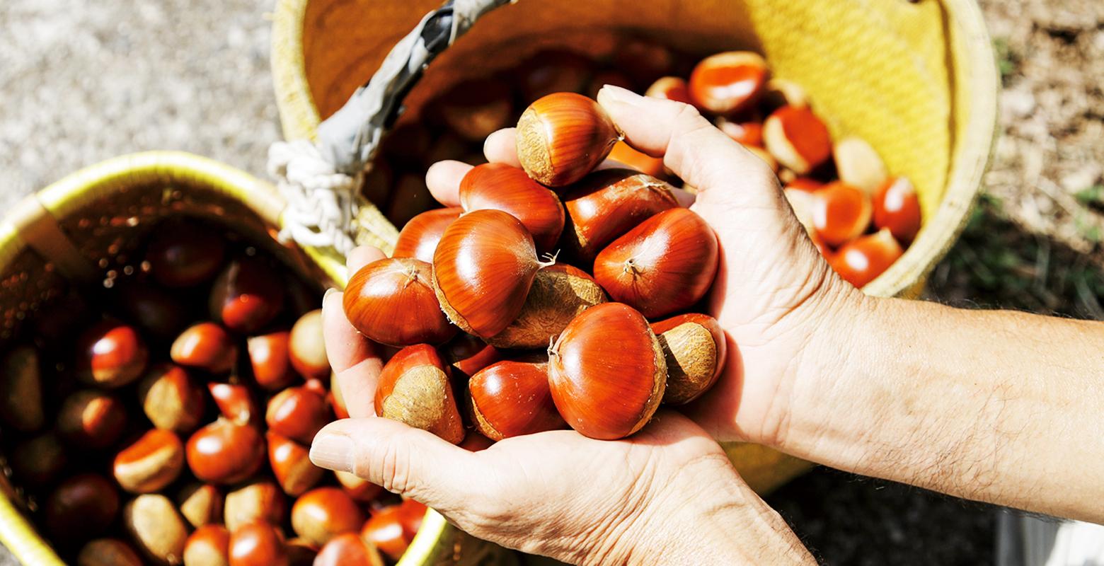Chestnu / Oku iyo chestnut