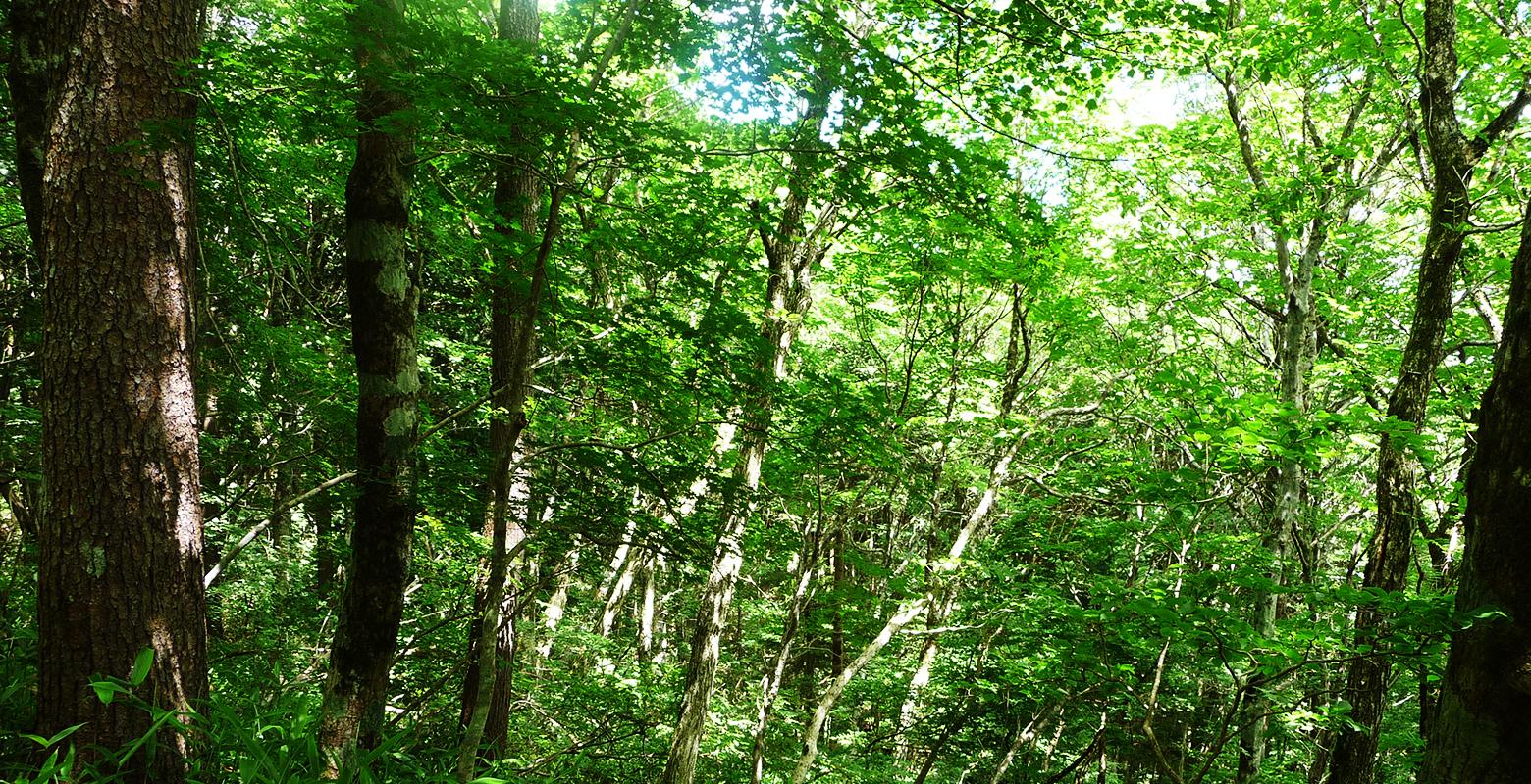 Wood / Beech forest